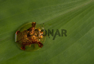 Tortoise Beetle, Lonavala, Maharashtra, India