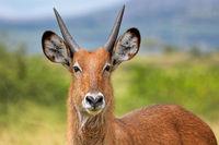 Defassa waterbuck, Queen Elizabeth Nationalpark Uganda (Kobus defassa)