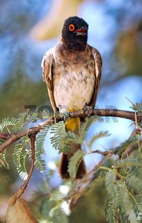 Maskenbülbül, Kgalagadi-Transfrontier-Nationalpark, Südafrika, (Pycnonotus nigricans) | African red-eyed bulbul, Kgalagadi Transfrontier National Park, South Africa, (Pycnonotus nigricans)