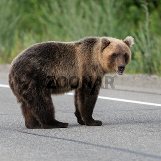 Wild hungry Kamchatka brown bear standing on asphalt road