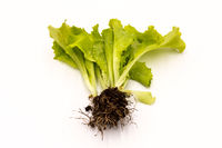 Shots of fresh lettuce with roots, lettuce isolated on white background