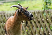 Beautiful goat with a goatee grumbles in the garden