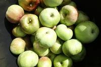 Malus domestica Ontario, Apple