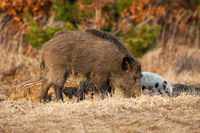Wild boar mother with piglets feeding on field in spring