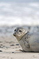 Harbour Seal on a sandy beach
