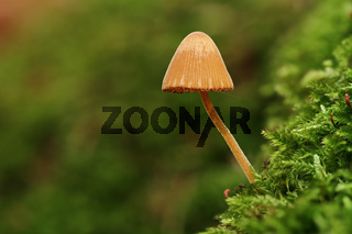 Glimmer-Tintling (Coprinus micaceus)