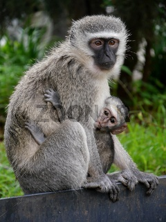 Mother and baby vervet monkeys in loving embrace, South Africa