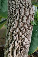 Tamarinde, Tamarindus, indica