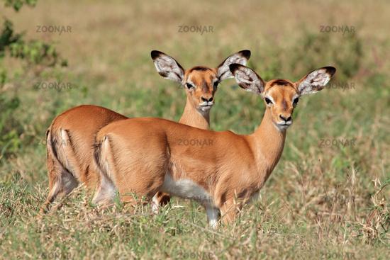 Impala antelope lambs
