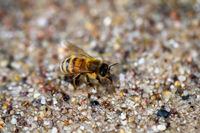 A close-up of a bee drinking from the damp sand.