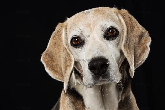 Beagle dog on black background