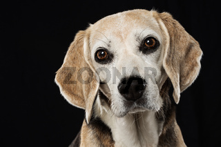 Beagle dog on black background