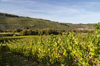 Vineyard in Brauneberg on river moselle