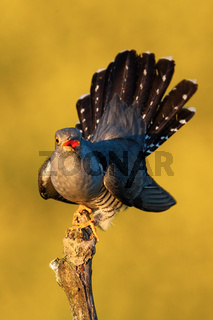 Proud common cuckoo displaying its tail feathers and singing in summer at sunset
