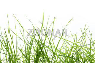 Blades of fresh grass on white background