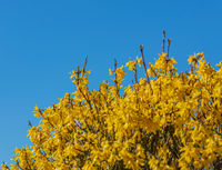 Forsythia blossom at the beginning of spring against a blue sky