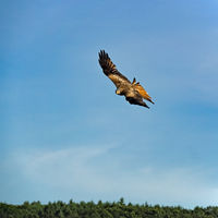 Red kite (Milvus milvus) in flight in front of blue sky