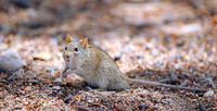african striped mouse, Kgalagadi Transfrontier National Park, South Africa, (Rhabdomys pumilio)