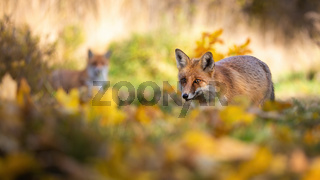 Red fox hunting in autumn forest with another in background
