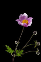 Anemone hupehensis with four buds dark _ Herbst-Anemone