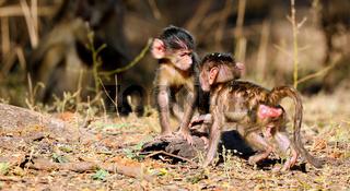 Steppenpaviane, South Luangwa Nationalpark, Sambia, (papio cynocephalus) | baboons, South Luangwa National Park, Zambia, (papio cynocephalus)