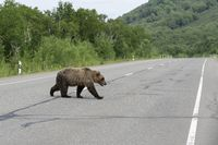 Kamchatka brown bear walks along highway
