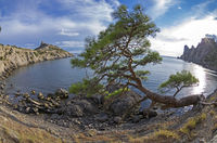 Relict pine tree on the sea shore. Crimea.