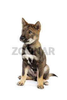 Japanese Shikoku puppy dog
