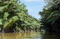 Riverine nipa (nypa) palm forest, Kinabatangan river flood plain, Sabah, Borneo, Malaysia