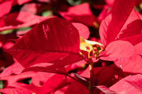 poinsettia flowers with red leaves