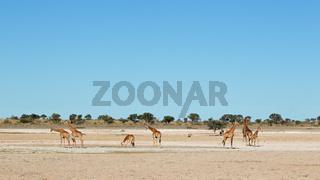 Giraffes at waterhole