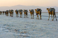 Dromedary caravan carrying at dusk salt slabs over Lake Assale, Afar region, Ethiopia