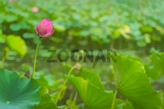 Single and lonely blooming pink lotus flower