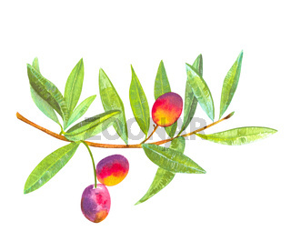 A watercolor drawing of a vibrant green olive tree branch with fruits, isolated on a white background