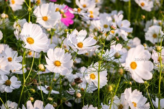 white cosmos flowers farm