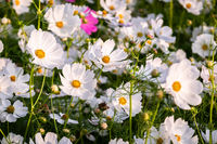 white cosmos flowers farm