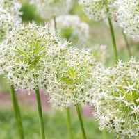 Flower Allium nutans white. Onions