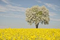 Blowing tree in a rapeseed field