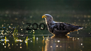 Sunlit white-tailed eagle wading in shallow water in summer at sunset.