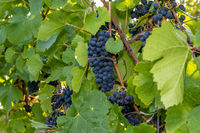 Red wine grape blue Pinot Noir