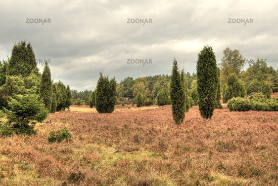 Juniper heath near Eimke