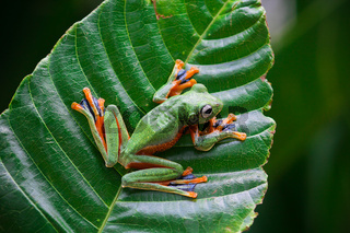 Wallace's flying frogs, frogs, tree frogs on twigs