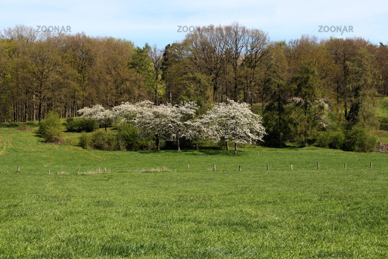 Flowering trees on a meadow