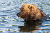 Portrait of Kamchatka brown bear in river. Wild beast fishing red salmon fish during spawning