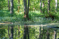 Lush green trees and plants in a swamp with reflections on the water surface