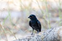 bird Fork-tailed Drongo Africa Namibia safari wildlife