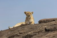 Lioness resting on a rock, Maasai Mara National Reserve, Kenya, Africa