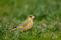 European greenfinch (Chloris chloris)