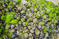 Mussels hanging on a rock