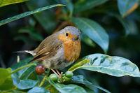 a little young robin sitting on a laurel bush